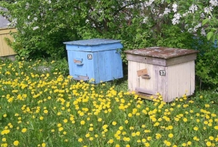 Стоит ли начинать пчеловодный бизнес? (Фото: ru.wikirecent.com)