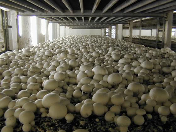 Ферма по выращиванию шампиньонов (фото: plantbreeding.nl).